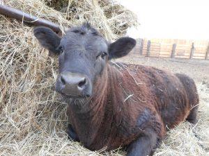 Selma Cow
